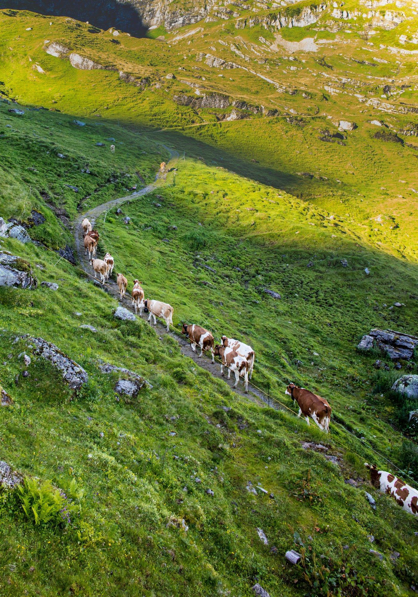 Kühe auf dem Berg